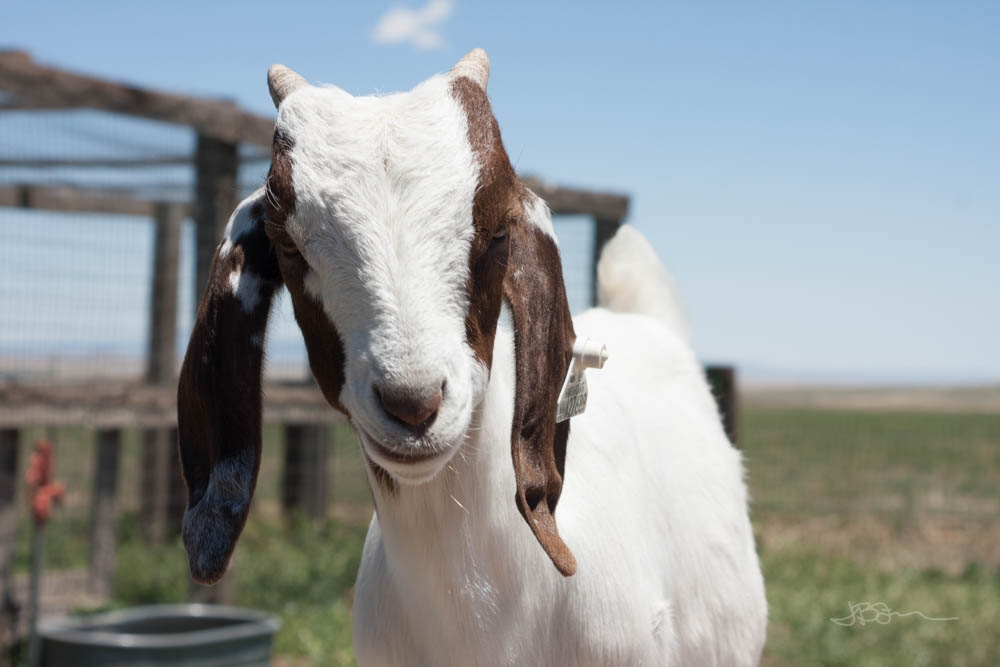 Face of a brown and white goat