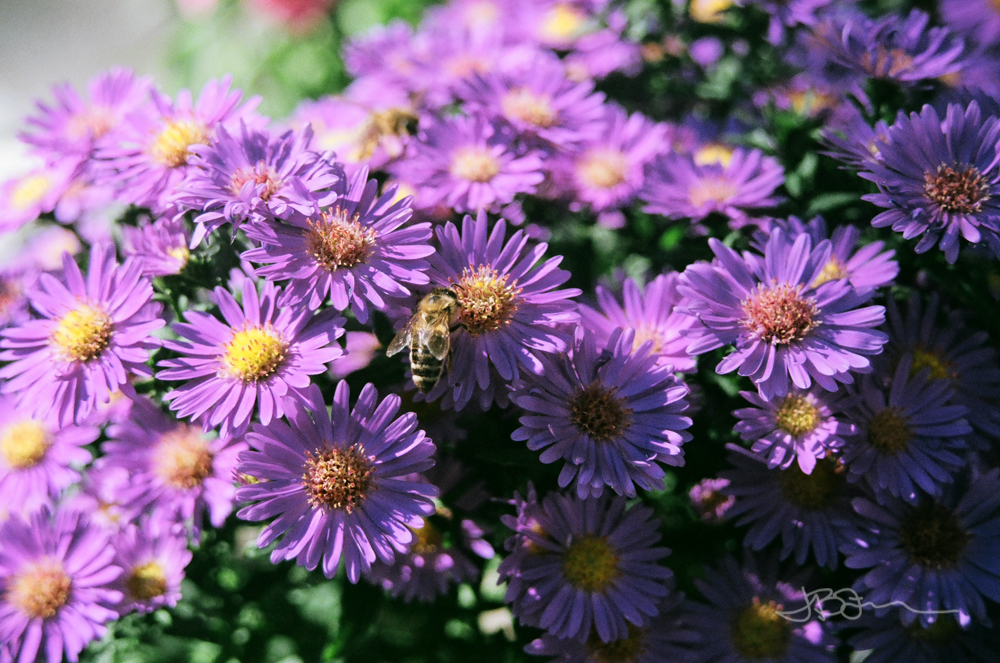 Honeybee on purple flowers