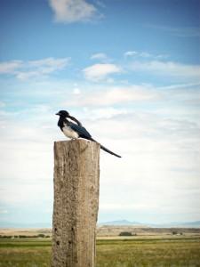 Max the Magpie