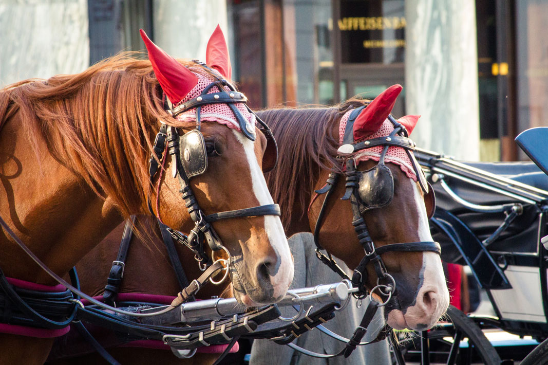 Carriage Horses in Vienna