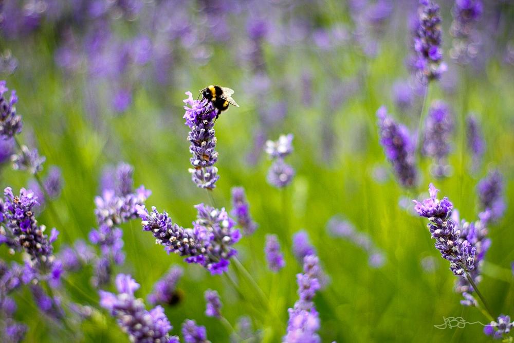Bee on lavender flowers