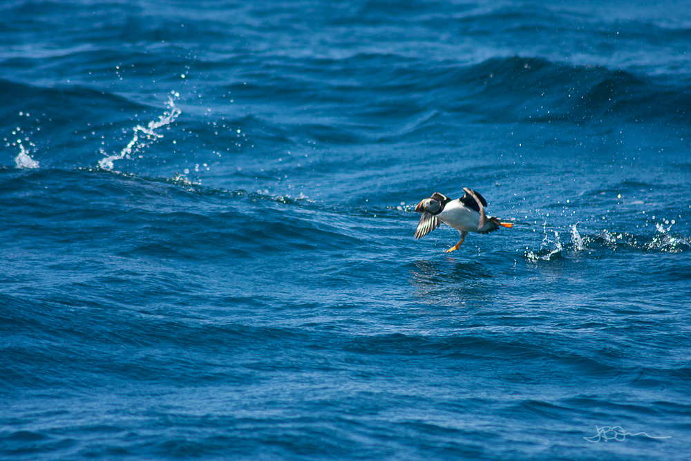 Puffin taking flight out of the ocean
