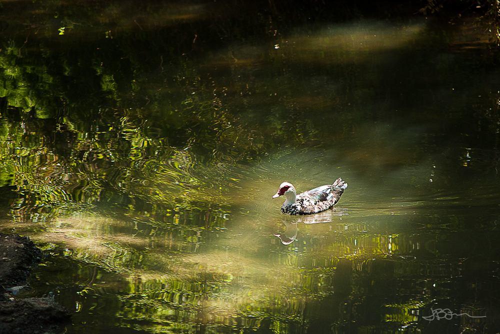 Duck in the water, spotlighted by sunlight coming down through the trees
