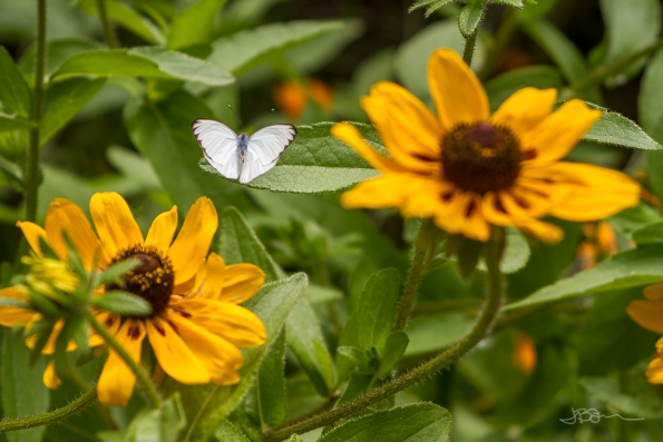 White butterfly on yellow flowers