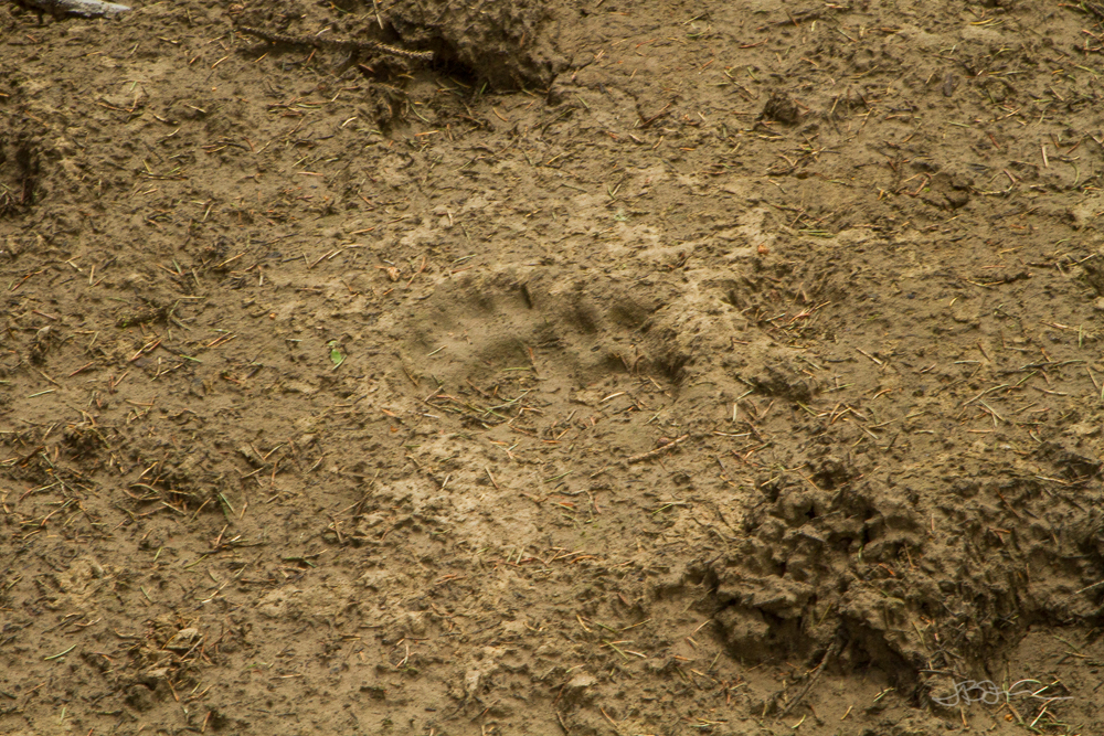 Bear tracks in mud in Caribou-Targhee National Forest