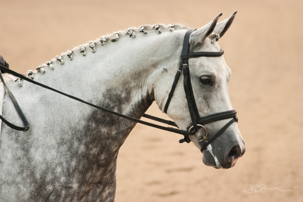 Dapple gray dressage horse