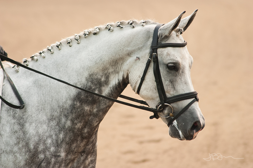 Dapple gray dressage horse