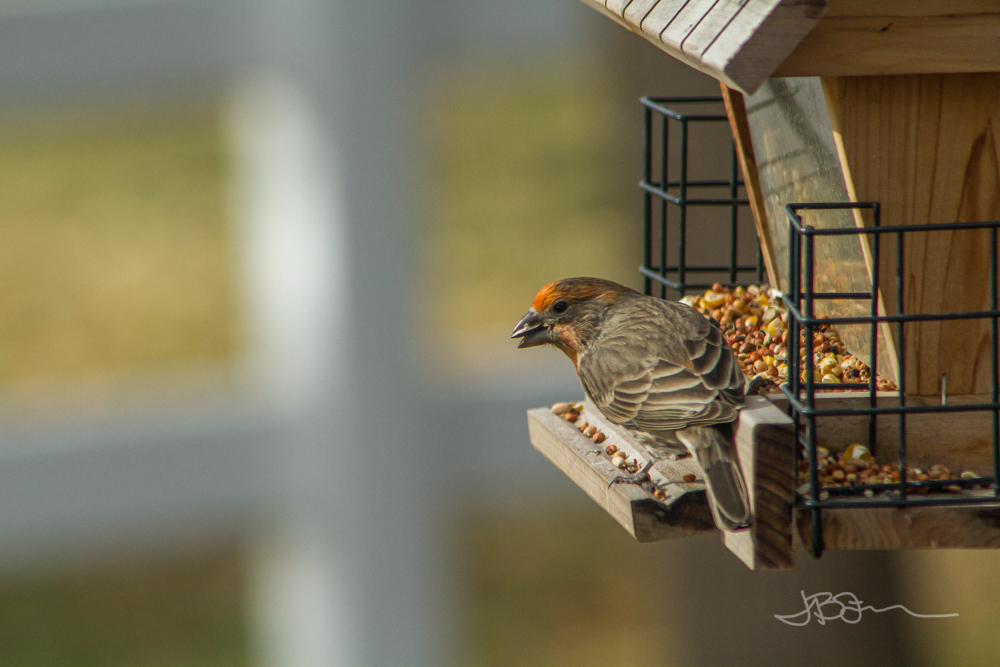 Orange finch on a bird feeder
