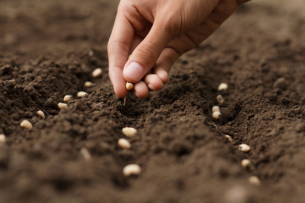 Hand sowing seeds into soil