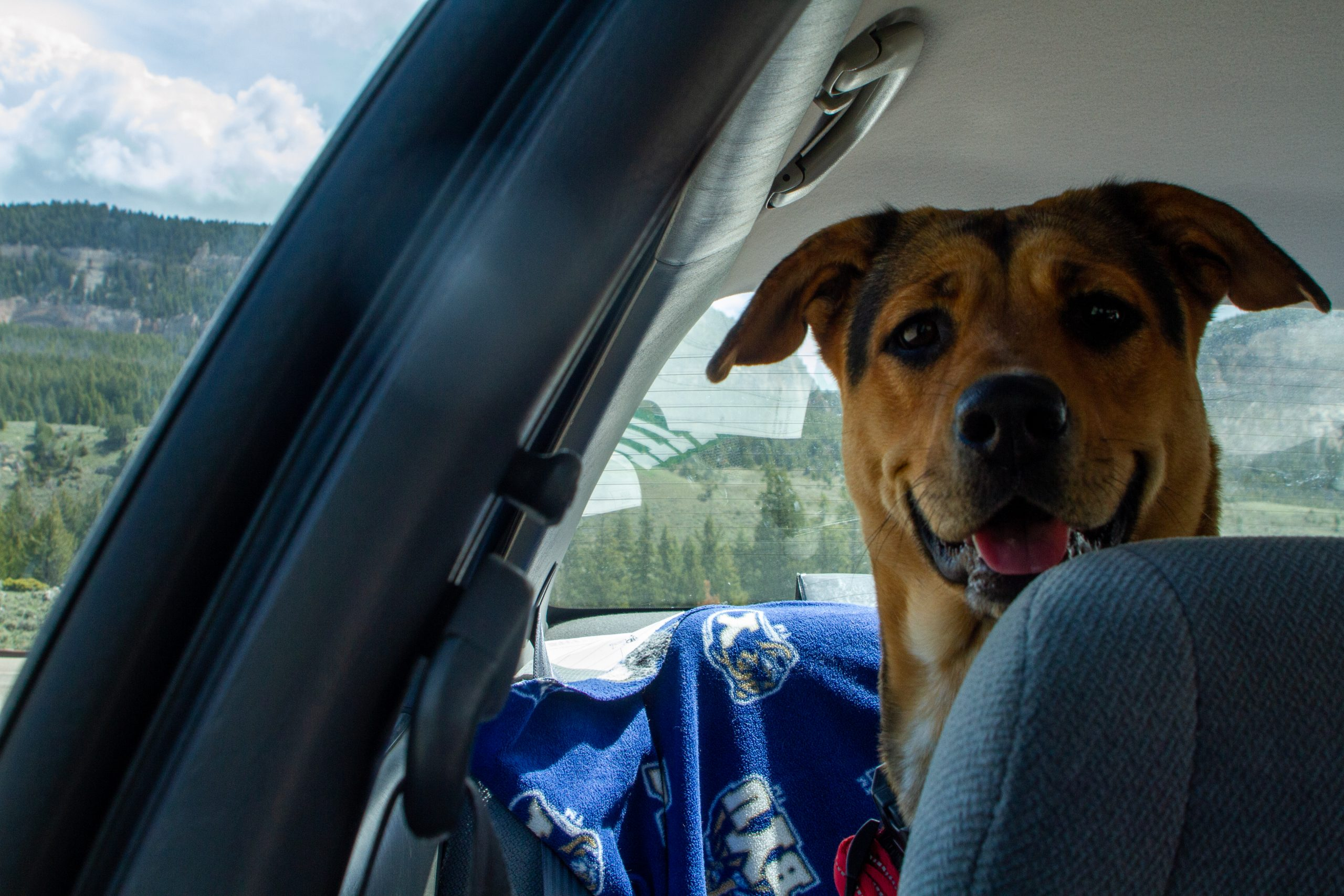Black and tan dog sitting in the back seat of a car