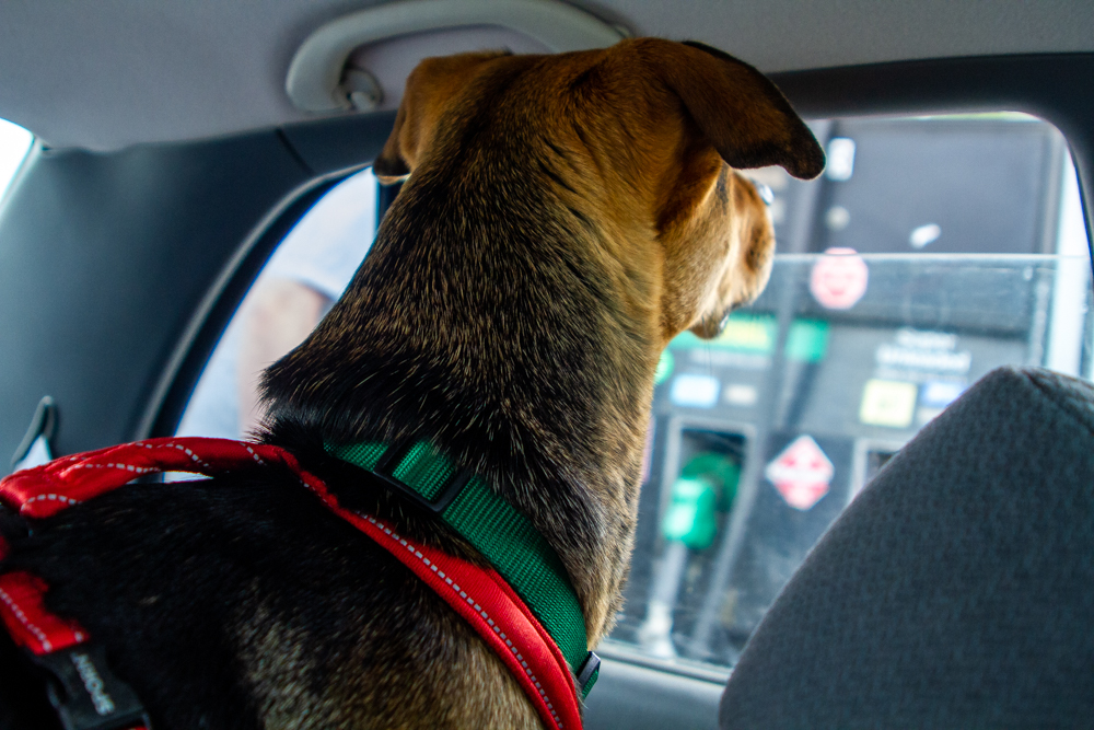 Black and Tan dog looking out the car window